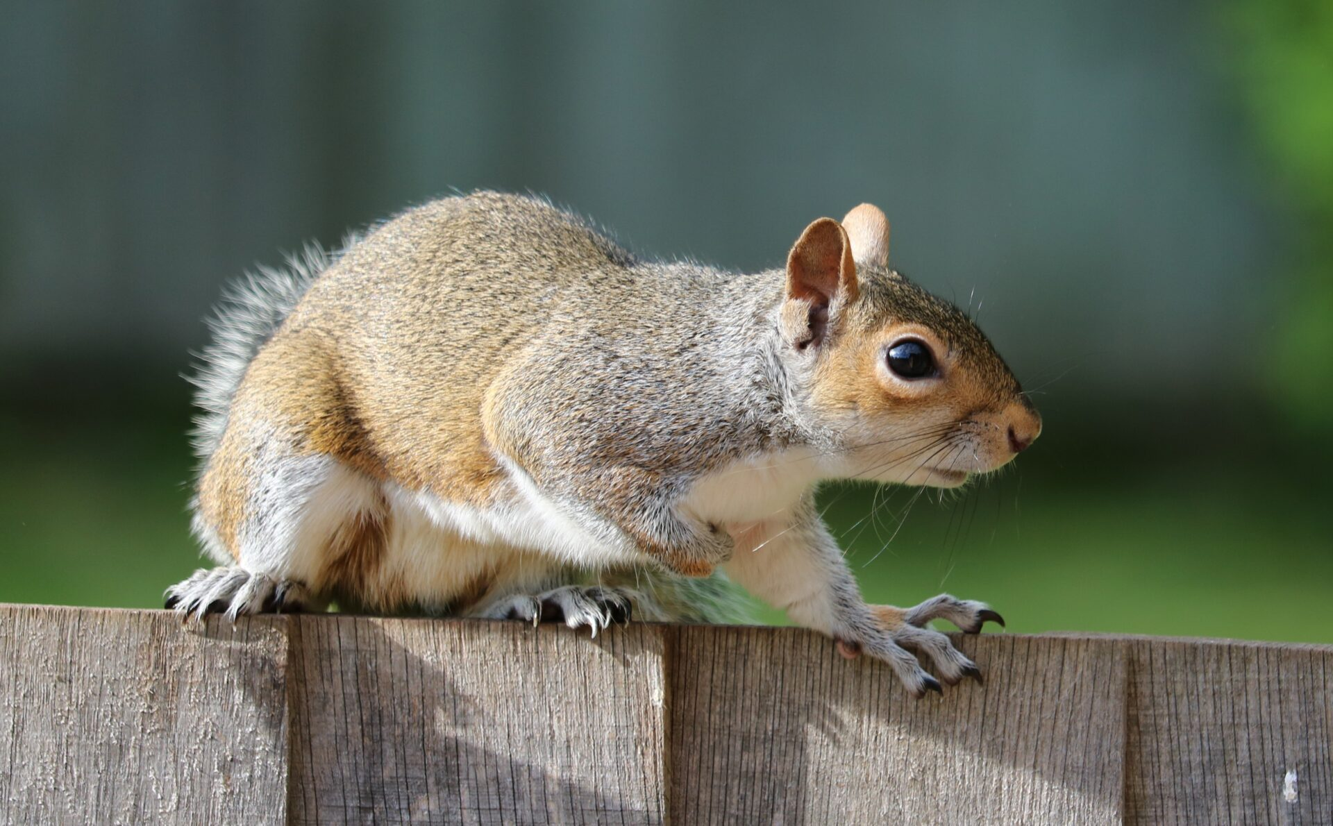 brown-squirrel